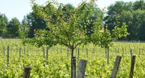 Domaine Emile Grelier arbres vignes