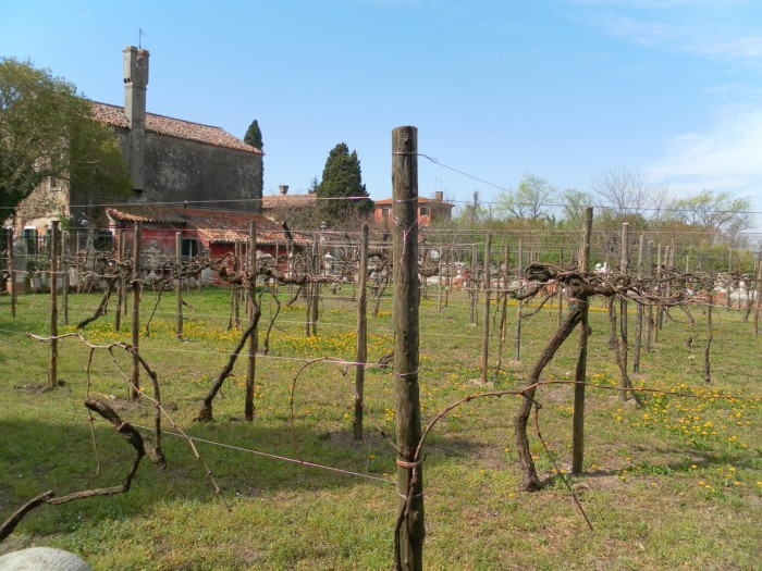 Le vignoble de Torcello